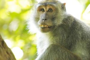 macaque teeth