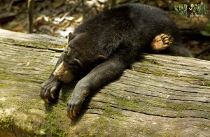 Sun bear scratching belly
