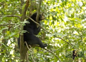 sun bear resting in tree